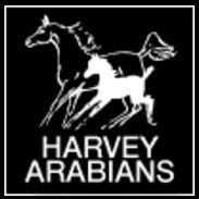 Harvey Arabians.JPG