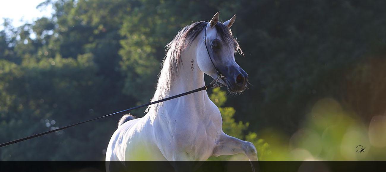 The Egyptian Arabian Horse The Pyramid Society
