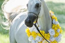 bint_al_riyahh_2014_ee_bronze_champion_senior_mare.jpg