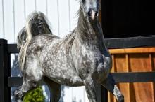 ciroc_se_gelding_trained_under_saddle.jpg