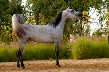 tibrah_al_shaqab_farhoud_al_shaqab_x_twom_hiddiyya_2012_straight_egyptian_filly.jpg