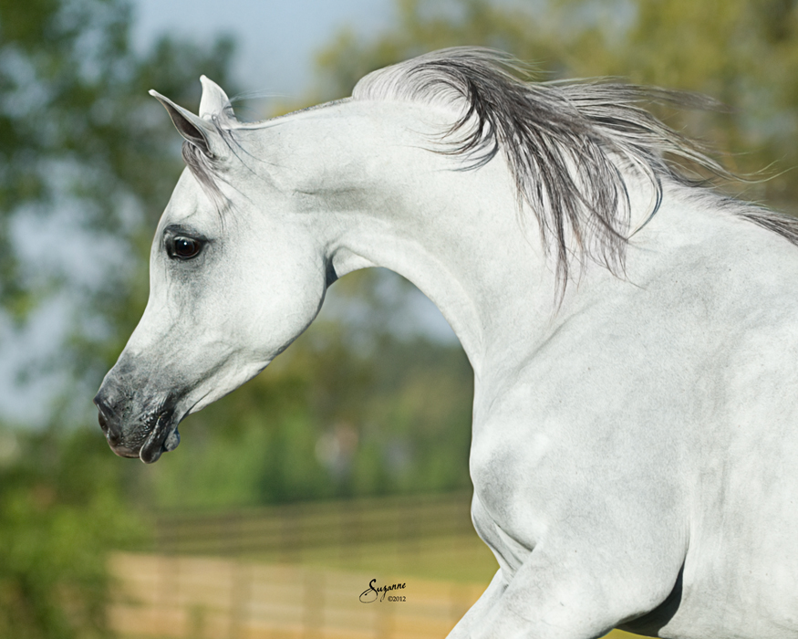 Arabian horse head pictures