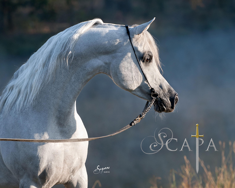 Https Www Pyramidsociety Org News Paradise Arabians Wins At Alabama Horse Show